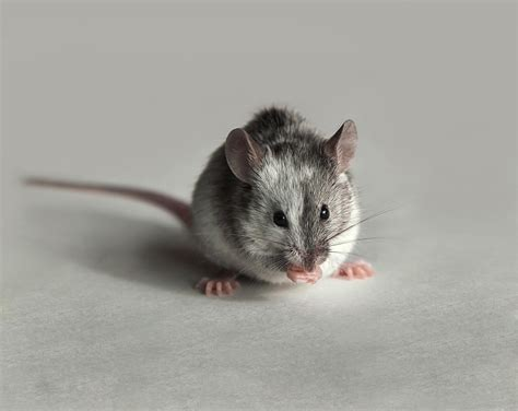 souris cuisine souris domestique dératisation pour en finir avec les souris