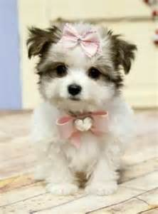 Cute Dogs Morkie Puppies