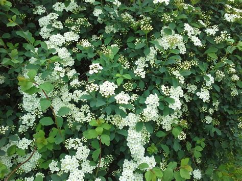 spirea shrub pictures linda lu s comments how to grow white spirea shrubs