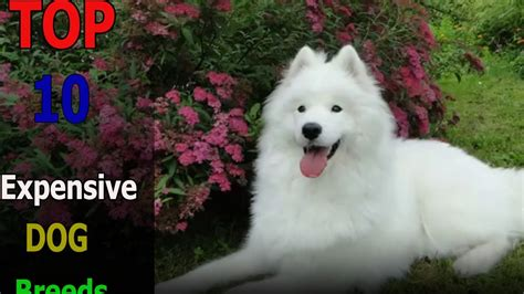 Top 10 animals: Top 10 expensive dog breeds YouTube