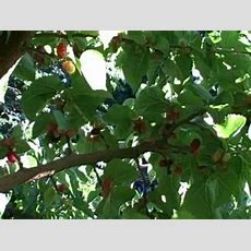 How To Harvest Ripe Mulberries Out Of A Mulberry Tree