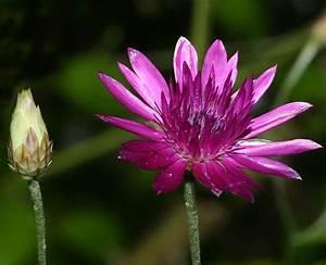Xeranthemum Flowers
