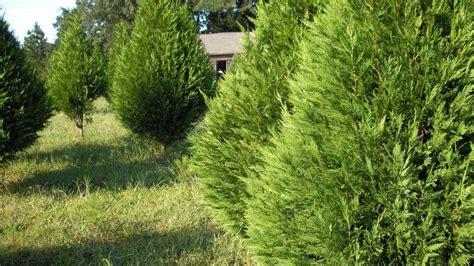 Leyland Cypress Christmas Trees Louisiana by Leyland Cypress Christmas Wallpaper