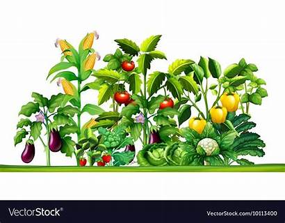 Vegetable Plants Garden Growing Fresh Vegetables Vectorstock