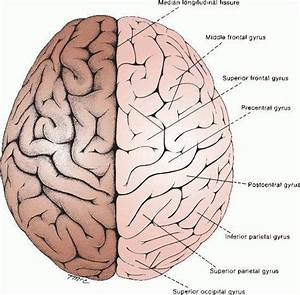 Pictures Of Cerebral HemispheresHealthiack