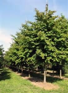 Phellodendron amurense; USDA Zone: 2-8 - Climate trees - Pinterest CA 19-9