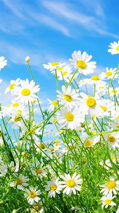 Daisy Iphone Flowers Wallpapers Flower Daisies Desktop