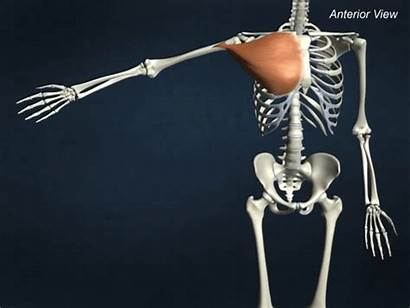 Major Pectoralis Adduction Pec Chest Muscle Chiropractor