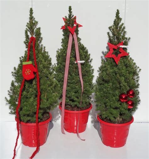 kleiner weihnachtsbaum im topf kleiner weihnachtsbaum f 252 r kleine wohnung die wei 223 fichte