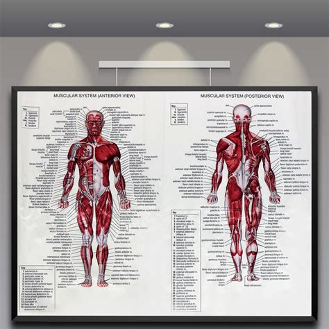 The skeleton & bones category covers the bones and function of the human skeleton, the axial and appendicular skeleton, the anatomy of the spine, types of joints including synovial joints, types, and shapes of. Human Body Muscle Anatomy System Poster Anatomical Chart Educational Poster 6492090778596   eBay
