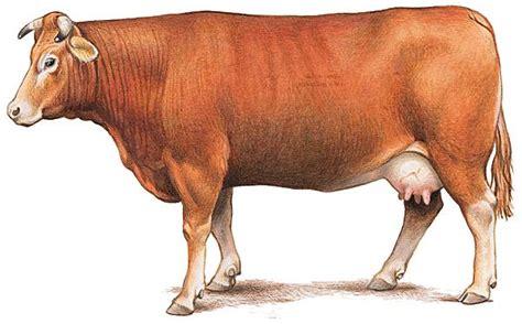 cuisine orientale encyclopédie larousse en ligne vache de la race limousine