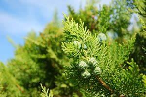 Lebensbaum Hecke Schneiden : lebensbaum thuja smaragd pflanzen pflege schneiden ~ Eleganceandgraceweddings.com Haus und Dekorationen