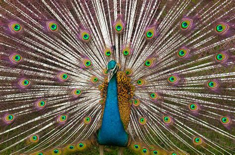 Creative Gold Peacock Large Wall Clock Metal Living Room: File:Indian Peacock Plumage.jpg