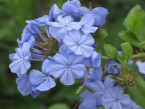 Imperial Blue Plumbago Plant
