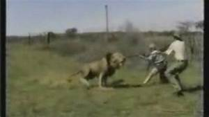 Lion attack hunting safari Africa. - Video Dailymotion