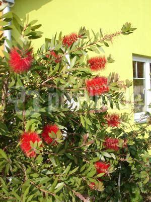 strauch mit roten blüten lizenzfreie fotos strauch mit roten bl 252 ten pixelio de