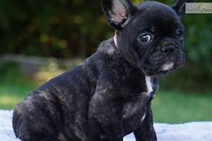 Cookie French Bulldog Puppy For Sale Near Colorado