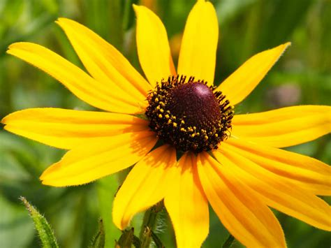 black eyed susan rudbeckia hirta black eyed susan world of flowering plants