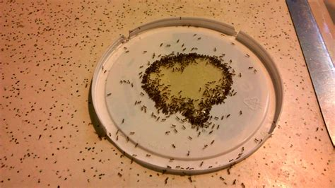 ants scattering  kitchen counter eating honeyborax mix