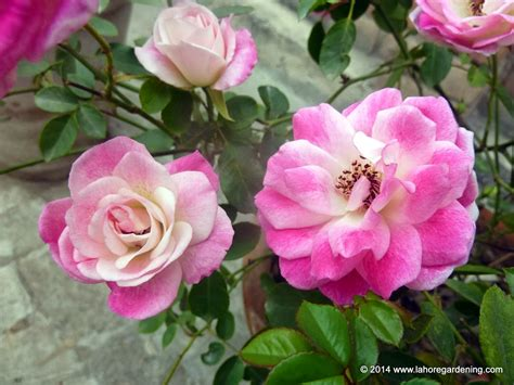 tips for planting roses tips on growing roses