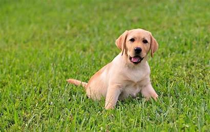 Labrador Puppies Wallpapers