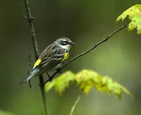 Yellow Warbler Bird Identification