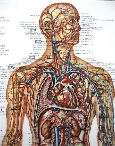 Bones chart of human bones rear view forensic. Medical Anatomy Chart Vintage Illustration Vascular Viscera