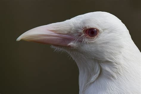 Bird Albino Crow Jackdaw American Crow Carrion Crow House