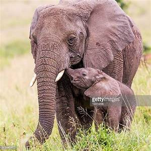 Elephant Calf Stock Photos and Pictures | Getty Images
