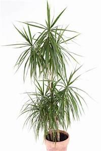Pflege Von Zimmerpflanzen : dracaena marginata pflege vermehren schneiden und tipps bei blattverlust ~ Markanthonyermac.com Haus und Dekorationen