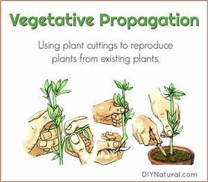 Vegetative Propagation  Using Plant Cuttings To Reproduce