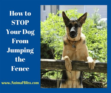 How To Stop My Puppy Jumping On The Sofa by How To Stop Your From Jumping The Fence Animal Bliss