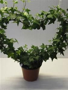 Efeu Pflanzen Kaufen : gr npflanzen f r den wohnbereich blumen pflanzen floristik ~ Michelbontemps.com Haus und Dekorationen