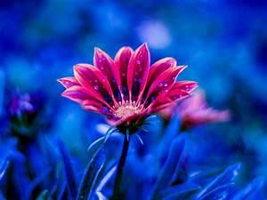 beautiful, flower, red, flowers, dew, petals, blue, background, 4k