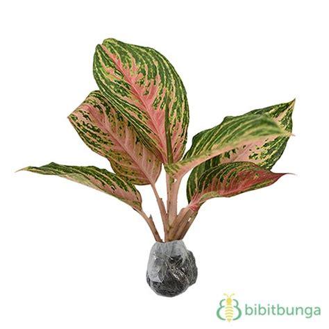tanaman aglaonema pink beauty bibitbungacom