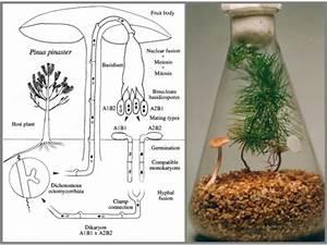 Comment Cultiver Des Champignons : permafor t comment cultiver des mycorhizes ~ Melissatoandfro.com Idées de Décoration