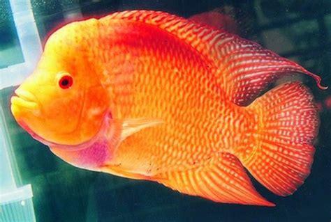 Cepat Hamil Ikan Louhan Golden Red Ragam Informasi