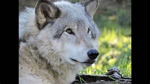 Artic Fox Coyote Grey Wolf and Alaskan Malamute Comparison ...