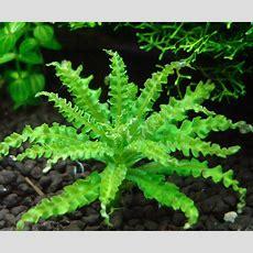 Prachtige Plant, Deze Pogostemon Helferi