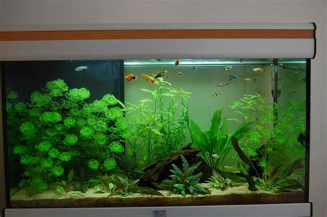 algue dans mon aquarium probleme d algue aquarium 28 images probl 232 me d algues association aquariophilie org