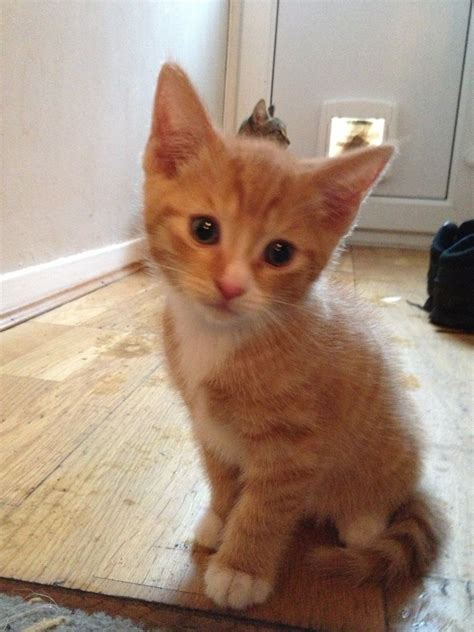 Ginger Tabby Kittens For Sale Southampton Hampshire