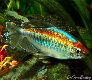 25 best ideas about Tetra Fish on Pinterest