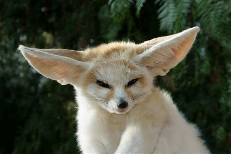 fox pet fennec fox animal wildlife