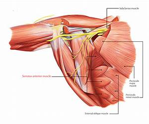 Anterior Shoulder Anatomy