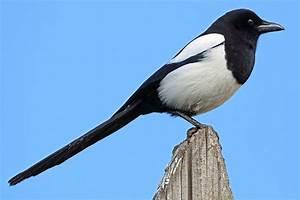 Elster Vogel Vertreiben : die elster besser als ihr ruf nabu ~ Lizthompson.info Haus und Dekorationen