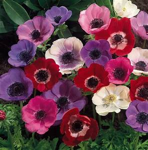 flowers for flower lovers.: Anemone flowers wallpapers.