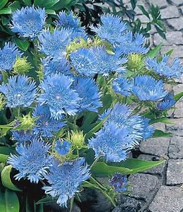 Winterharte Stauden Lila : stokesia 39 blue danube 39 eine fr hliche winterharte stauden neuheit die sich perfekt f r ihre ~ Markanthonyermac.com Haus und Dekorationen