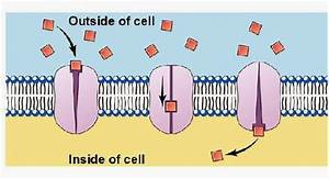 25 Passive And Active Transport Across Cell Membranes