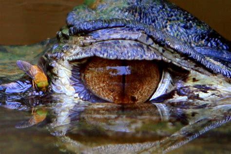 eye   black caiman melanosuchus niger   ox bow