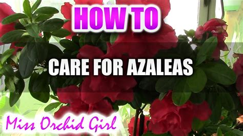 how to care for a bush how to care for azaleas youtube